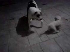 pitbull derrotado por french poodle