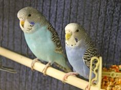 Parakeets waiting to meet you and follow you home -- come in and opt to adopt a couple of these lovely, lively and beautiful Parakeets. Maude A410710