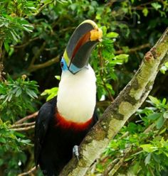 The Atlantic Puffin Bird Rainforest Animals, Amazon Rainforest, Amazon Birds, Puffins Bird, Colorful Parrots, Amazon Beauty Products, Science And Nature, Bolivia, Beautiful Birds