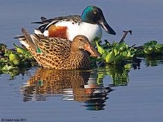 The Northern Shoveler (/ˈʃʌvələr/; Anas clypeata), Northern Shoveller in British English, sometimes known simply as the Shoveler, is a common and widespread duck. It breeds in northern areas of Europe and Asia and across most of North America,[2] wintering in southern Europe, Africa, the Indian subcontinent, Southeast Asia, and Central and northern South America. It is a rare vagrant to Australia.