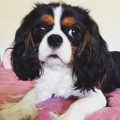 I will one day have a King Charles cavalier.