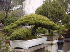 Humble Administrator's Garden, Suzhou - Bonsai Garden.  I want a Bonsai Tree.