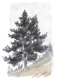 Step-by-step:  How to draw conifers by John Muir Laws.