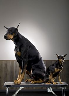 The Doberman Pinscher is among the most popular breed of dogs in the world. Known for its intelligence and loyalty, the Pinscher is both a police- favorite Doberman Pinscher Puppy, Doberman Dogs, Dobermans, Miniature Dog Breeds, Miniature Pinscher, Mini Pinscher, Black Dogs Breeds, Adult Halloween Party, Halloween Games