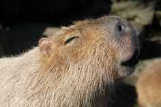 Capybara Sun Bath