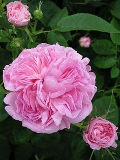 Damask Rosa 'La Ville Bruxelles'. Large flat quartered blooms of pure pink. Wonderful fragrance. Lovely pale green foliage. Summer flowering. Forms a bushy shrub with healthy foliage. Size:1.5m x1.4m.