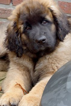 awe what a face of a Leo. leonberger Log in Giant Dogs, Big Dogs, Large Dogs, I Love Dogs, Big Fluffy Dogs, Cute Puppies, Cute Dogs, Dogs And Puppies, Doggies
