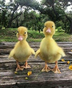 little ducks.