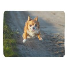 A long haired brown and white Chihuahua Running Swaddle Blanket  black chihuahua, black and white chihuahua, chihuahua halloween #chihuahualovefood #chihuahuapoodlemix #chihuahuasdailypost Chihuahua Terrier Mix, Chihuahua Puppies, Chihuahuas, Chihuahua Tattoo, White Chihuahua, Thing 1, Pet Costumes, Dog Carrier, Dog Crate