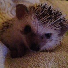 Quilson the hedgehog