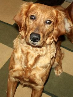 UPDATE: ADOPTED!!!!!  This is Fern an approx 3 yrs old #adoptable #GoldenRetriever. She & her puppies were being given away out of the back of a pick up truck at a gas station. She gets along with other dogs & kids but not cats, is potty & crate trained, has good house manners, rides well in a car, knows basic commands but could use a refresher course in obedience. Fern is looking for a forever home and is at Retrieve a Golden of Minnesota.