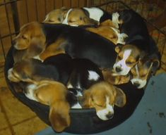 how many beagles are in the tub?