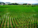 rice paddies in southern Taiwan