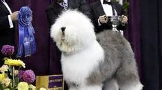Old English sheepdog Swagger stars at Westminster