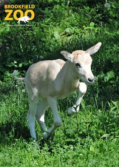 The sound of little hooves can be heard at Brookfield Zoo with the birth of an addax antelope on June 7.
