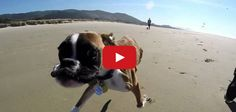 Duncan the two legged dog meets the beach for the first time!