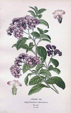 Heliotropium peruvianum (arborescens)