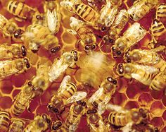 Honeybees give us honey, pollinate our fruits and flowers and without them we'd be in a world of hurt!!