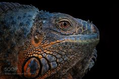 The Eye of the Dragon by ivorberry #animals #animal #pet #pets #animales #animallovers #photooftheday #amazing #picoftheday