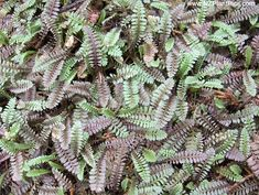 leptinella serrulata - native groundcover Native Plants, Green Thumb, Ground Cover Plants, Shade Garden, Plant Spacing, Landscape, Plants, Ferns, Garden Inspiration