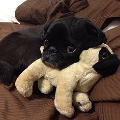 Baby pug and stuffed animal