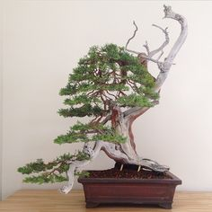 Rocky Mountain Juniper after angle change and structural reset. The 200 year old Chinese pot proved a perfect match. #bonsai #americanbonsai #art #nyc #manhattan by bjorn_bjorholm