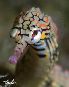 Rare colored Seahorse - Anita Smith Home Underwater Creatures, Underwater Life, Ocean Creatures, Beautiful Sea Creatures, Animals Beautiful, Cute Animals, Sea Dragon, Deep Blue Sea, Beautiful Fish