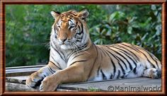 Panthera Tigris Altaica, Pretty Cats, Pretty Kitty, Big Cats, Animals Beautiful, Wildlife, Ecommerce Store, White Tigers, Tiger Tiger
