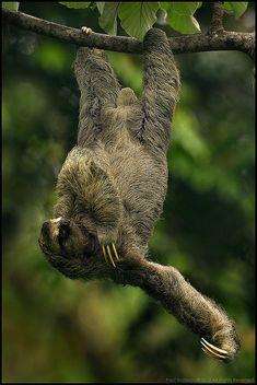 Three-toed Sloth | Flickr - Photo Sharing!
