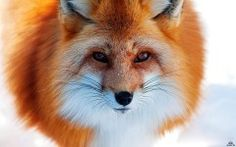 Red Fox Animal HD Wallpapers