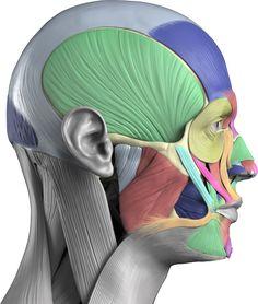 Anatomy Next - Human anatomy reference images and interactive . Facial Anatomy, Head Anatomy, Human Anatomy Drawing, Human Body Anatomy, Anatomy Poses, Muscle Anatomy, Anatomy Study, Anatomy Art, Anatomy Reference