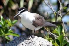 Bridled tern (Photo by: Alec Taylor) http://cousinisland.net/discover