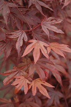 Click to view full-size photo of Fireglow Japanese Maple (Acer palmatum…