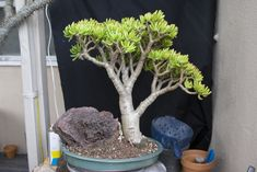 Finally got around to repotting and photographing a couple of Crassula 'Gollum' Jades I have and wanted to share. I really enjoy these particular plants, especially the big one. They are very rewarding since their care is easy, yet they look so attractive. I hope you enjoy! Here is the small one as ...