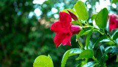 A tölcsérjázmin gondozása, a tölcsérjázmin szaporítása: a tölcsérjázmin milyen földet szeret, miért nem virágzik a tölcsérjázmin? Hogyan zajlik a brazil tölcsérjázmin teleltetése? Plants, Plant, Planets