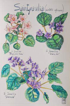 Illustrazione ad acquerello, Violette africane(Saintpaulia) . Watercolor illustration, African Violets (Saintpaulia) di LabLiu su Etsy #arte #illustrazione #fiori #piante #botanica #labliu #disegni #violette