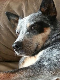 Sadie napping/watching the coffee cup level for her fair share! Crazy coffee-addict heeler!