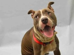 SWAN - #A1054776 - Super Urgent Brooklyn - FEMALE GRAY/WHITE PIT BULL MIX, 1 Yr - STRAY - NO HOLD Intake Date 10/14/15 Due Out 10/17/15