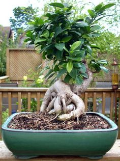 20 year old bonsai. Bonsai Gallery | Bonsai Guy