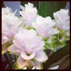 I love the white <3 Curcuma