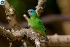 https://www.facebook.com/WonderBirdSpecies/ Blue dacnis/Turquoise honeycreeper (female)(Dacnis cayana); Central and South America; IUCN Red List of Threatened Species 3.1 : Least Concern (LC)(Loài ít quan tâm) || Chim Dacnis xanh (mái); Trung và Nam Mỹ; Họ Tanager-Thraupidae.
