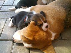 Beagles pure sweetness!