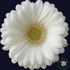 Mini Gerbera - Albino - Gerbera - Flowers and Fillers - Flowers by category | Sierra Flower Finder