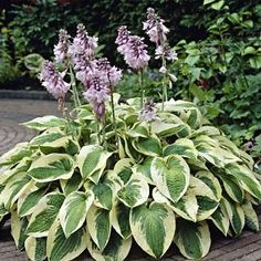 2 Wide Brim Hostas Both Full sun and Mostly Shaded areas Info: purple flowers atop tall stems from mid- to late summer. Grows larger each year. Spacing: Height: Hardy Zones: Blooms: mid to late-summer Hosta Plants, Fall Plants, Shade Plants, Garden Plants, Best Perennials, Herbaceous Perennials, Hardy Perennials, Lavender Flowers, Purple Flowers