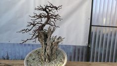 http://www.im-bonsai.hu/images/nagy-tonk-201701/IMG_20170107_140204.jpg