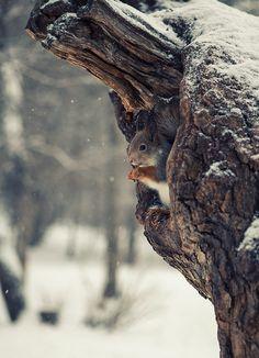 Squirrel in Winter                                                       …
