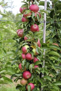 Anpflanzen- Obst | Tipps für Säulenobst