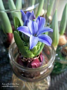 Hyacinth in forcing vase