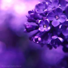 lilac.... by ~impatienss on deviantART, purple, flowers, photography
