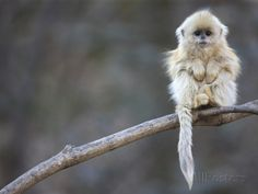 A Golden Snub-Nosed Monkey Infant Perches in a Highland Forest Fotoprint van Cyril Ruoso bij AllPosters.nl